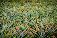 Ananasfrucht im Bauernhof Lizenzfreie Stockfotos