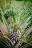 Ananasfrucht im Bauernhof Stockfoto