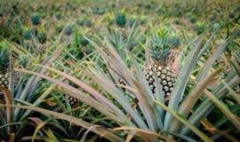 Ananasfrucht im Bauernhof Lizenzfreie Stockbilder