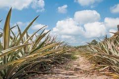 Ananasfruit die (ananascomosus) onder blauwe hemel groeien Royalty-vrije Stock Fotografie