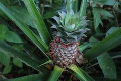 Ananasfruit op aardachtergrond Stock Afbeeldingen