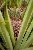Ananasfrukt är mjuk. Arkivbilder