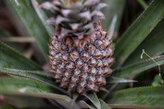 Ananasfruktodling Royaltyfria Bilder