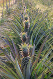 Ananasgarten Stockfotografie