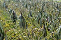 Ananasgebied stock afbeeldingen