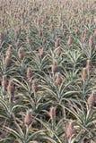 Ananasgebied Royalty-vrije Stock Afbeeldingen