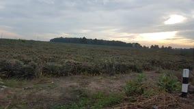 Ananasgebied Royalty-vrije Stock Afbeelding