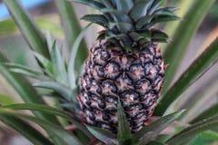 Ananasinstallatie met ananas het groeien op bovenkant stock afbeeldingen