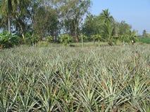 Ananasinstallatie in Thailand Stock Afbeeldingen