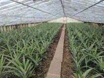 Ananaskoloni Azores Royaltyfri Fotografi