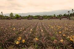 Ananaslantgårdar, Taiwan Fotografering för Bildbyråer