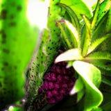 Ananaslilja Arkivfoto