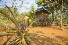 Ananasobstplantagefeld, Ackerland, Laos Lizenzfreie Stockbilder