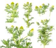 Ananasogräs eller lös kamomill & x28; Matricariadiscoidea& x29; isolerat på vit bakgrund medicinal växt arkivfoto