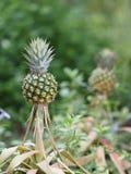 Ananasowa owoc na zamazanym natury tła przestrzeń dla pisze sformułowaniach zdjęcie stock