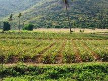 Ananasowa plantacja obraz royalty free