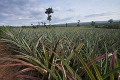 ananasowa roślina zdjęcie stock