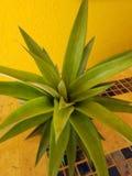 Ananasowa roślina z owoc fotografia royalty free
