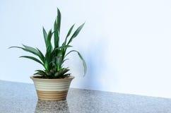 Ananasowa roślina z owoc Zdjęcie Royalty Free