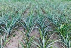 Ananasowe rośliny na ananasa polu Obraz Stock