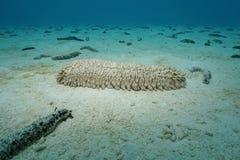 Ananasowy dennego ogórka Thelenota ananas podwodny Obrazy Royalty Free