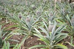 Ananasowy dorośnięcie Obrazy Stock