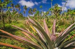 Ananasowy dorośnięcie przy plantacją Zdjęcie Royalty Free