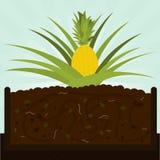 Ananasowy drzewo i kompost Obraz Royalty Free