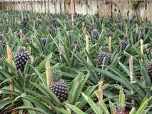 Ananasplantage Ponta Delgada Azoren Portugal stockfotografie