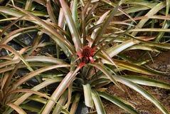 ananasväxt Arkivbild
