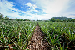 Ananasväxt med frukt Arkivfoto