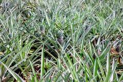 Ananasväxt med frukt Royaltyfria Bilder