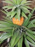 Ananasväxt med frukt Arkivfoton