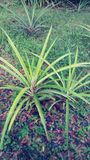 Ananasväxter Royaltyfri Foto