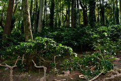 Ananthagiri Coffee Plantation Royalty Free Stock Image