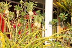 Ananus comosus cv.Variegatus Royalty Free Stock Photo
