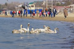 Anapa Rosja, Marzec, - 08 2017: Mieszkanowie karmiący na plaży i przezimowywać w czarnym morzu kierdla niemych łabędź lat Cygnus  Fotografia Stock