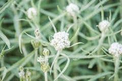 Anaphalis margaritacea Royalty Free Stock Image