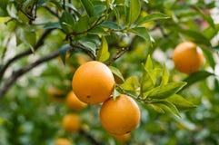 Anaranjado-árbol con las naranjas frescas Imagenes de archivo
