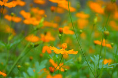 Anaranjado-flor Imagen de archivo