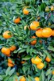 Anaranjado - parque de la naranja del árbol anaranjado Fotos de archivo libres de regalías