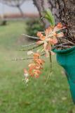 Anaranjado y blanco colorea la orquídea Foto de archivo libre de regalías