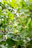 Anarcadiers verts dans l'arbre Images stock