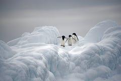 在冰,威德尔海, Anarctica的Adelie企鹅 库存图片