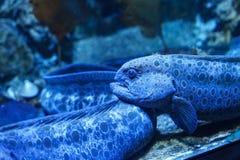 Anarrhichthys ocellatus blu dell'anguilla del lupo fotografia stock