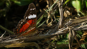 Anartia amathea Royaltyfria Bilder