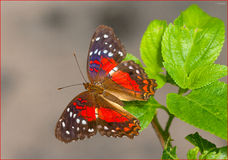 Anartia Amathea (II). The brown peacock or scarlet peacock (Anartia amathea) is a species of nymphalid butterfly, found primarily in South America. The type Royalty Free Stock Image