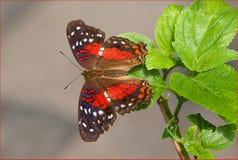 Anartia Amathea (III) Стоковые Изображения RF