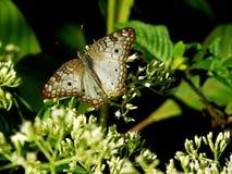 Anartia jatrophae或白色孔雀,与交通事故多发地段的一只白色蝴蝶坐花 免版税库存图片
