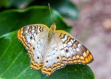 Anartia-jatrophae Stockfotos